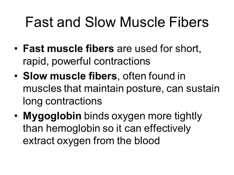 Fast and Slow Muscle Fibers Fast muscle fibers are used for short, rapid, powerful contractions Slow muscle fibers, often found in muscles that maintain posture, can sustain long contractions Mygoglobin binds oxygen more tightly than hemoglobin so it can effectively extract oxygen from the blood