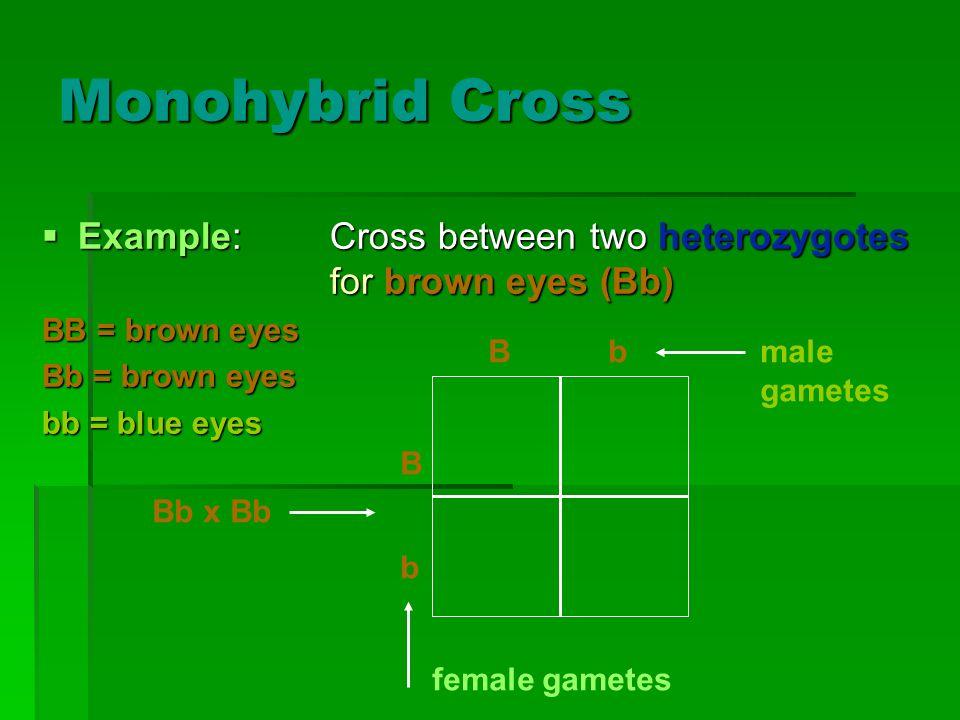 Monohybrid Cross Example:Cross between two heterozygotes for brown eyes (Bb) Example:Cross between two heterozygotes for brown eyes (Bb) BB = brown ey