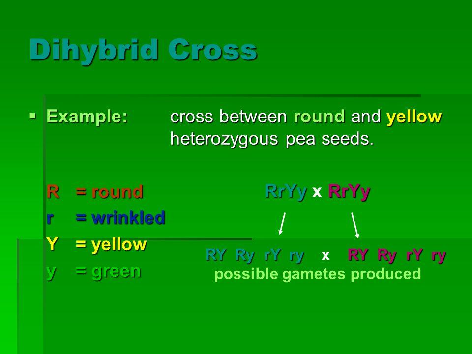 Dihybrid Cross Example:cross between round and yellow heterozygous pea seeds. Example:cross between round and yellow heterozygous pea seeds. R= round
