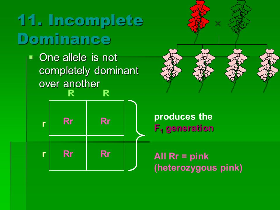 11. Incomplete Dominance One allele is not completely dominant over another One allele is not completely dominant over another Rr r r RR All Rr = pink