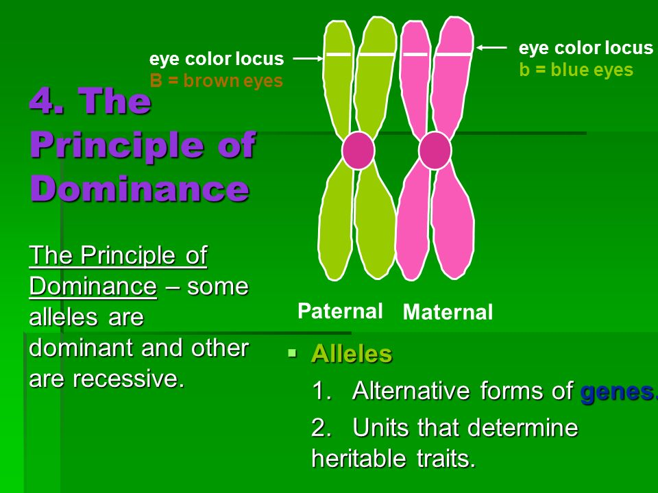 4. The Principle of Dominance Alleles Alleles 1.Alternative forms of genes. 2.Units that determine heritable traits. Paternal Maternal eye color locus