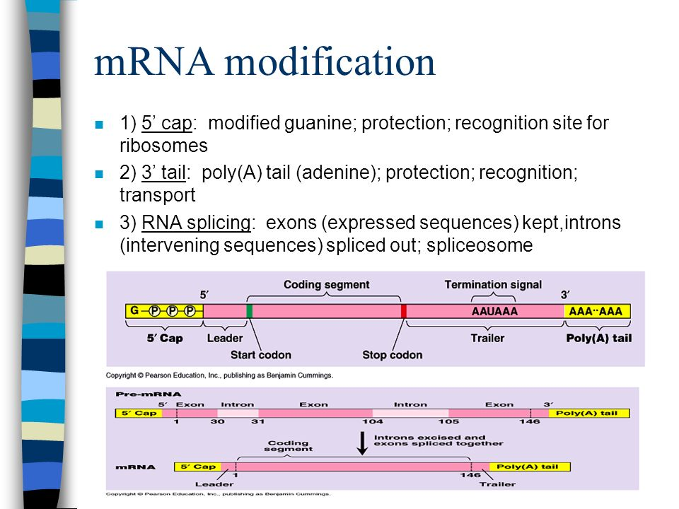 mRNA modification n 1) 5 cap: modified guanine; protection; recognition site for ribosomes n 2) 3 tail: poly(A) tail (adenine); protection; recognition; transport n 3) RNA splicing: exons (expressed sequences) kept,introns (intervening sequences) spliced out; spliceosome