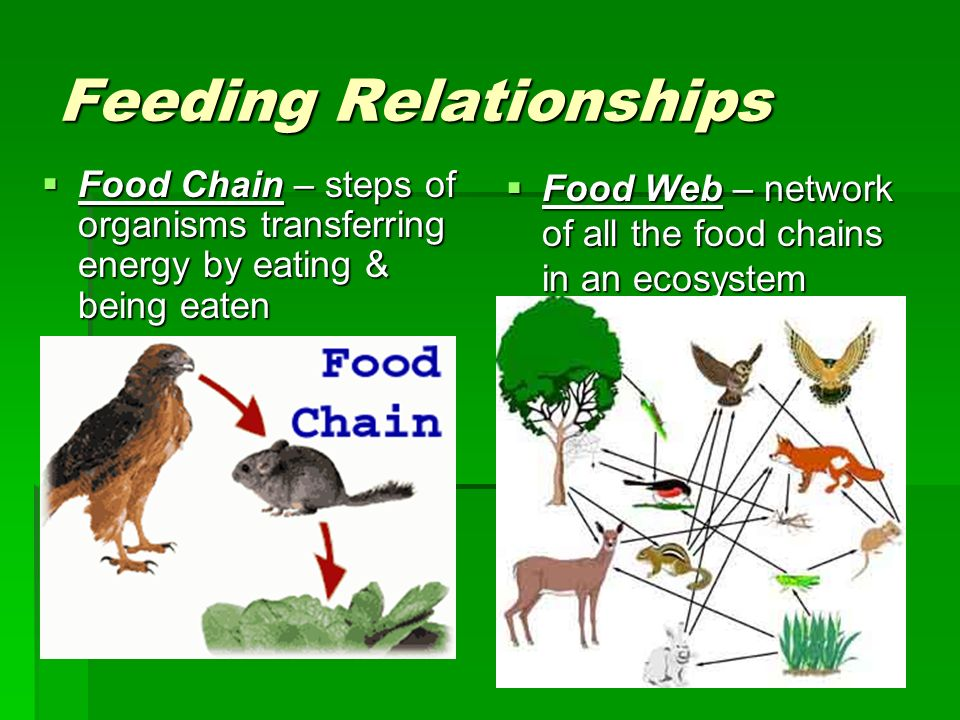 Feeding Relationships Food Chain – steps of organisms transferring energy by eating & being eaten Food Chain – steps of organisms transferring energy