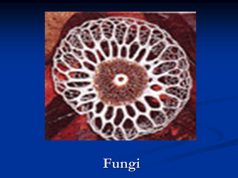 Fungi are eukaryotic heterotrophs that digest food externally and absorb the the digested materials through their body walls.