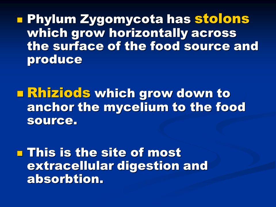 Phylum Zygomycota has stolons which grow horizontally across the surface of the food source and produce Phylum Zygomycota has stolons which grow horiz