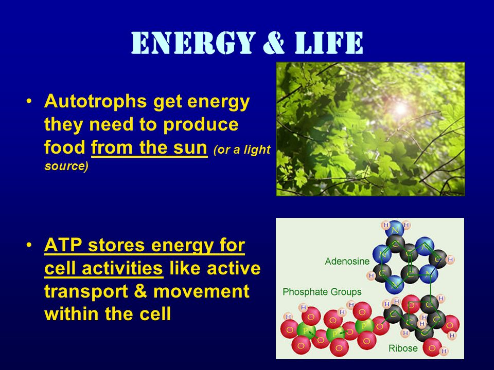 ENERGY & LIFE Autotrophs get energy they need to produce food from the sun (or a light source) ATP stores energy for cell activities like active trans
