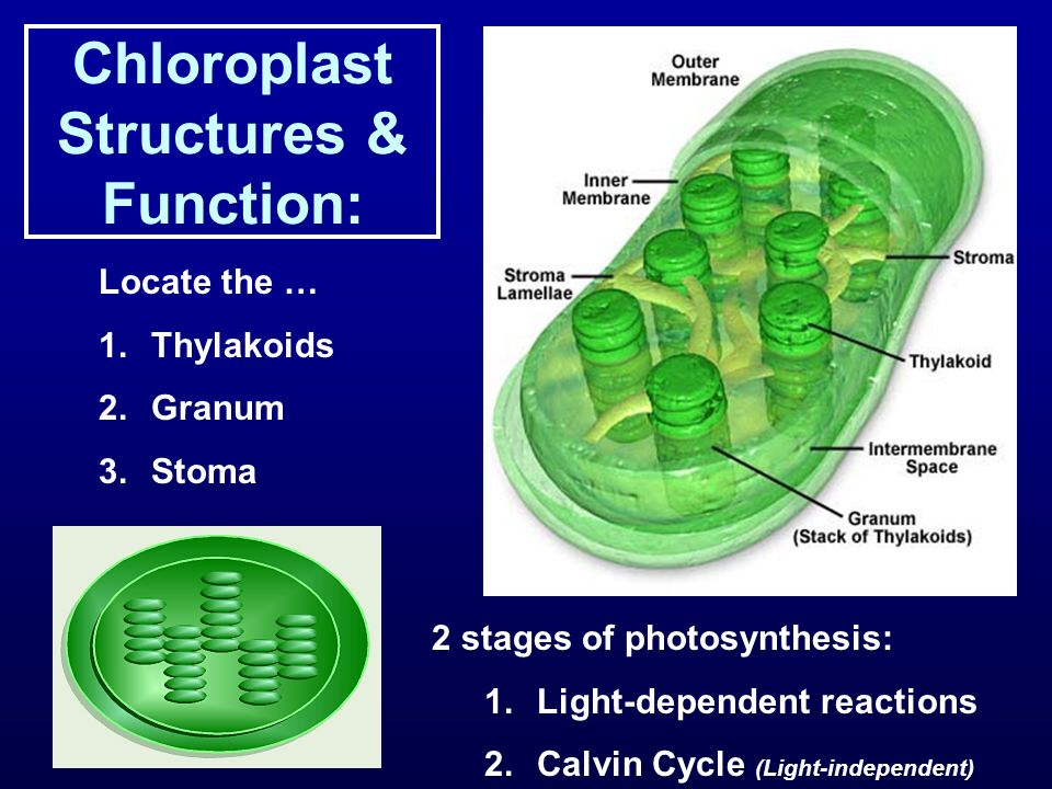 Chloroplast Structures & Function: Locate the … 1.Thylakoids 2.Granum 3.Stoma 2 stages of photosynthesis: 1.Light-dependent reactions 2.Calvin Cycle (