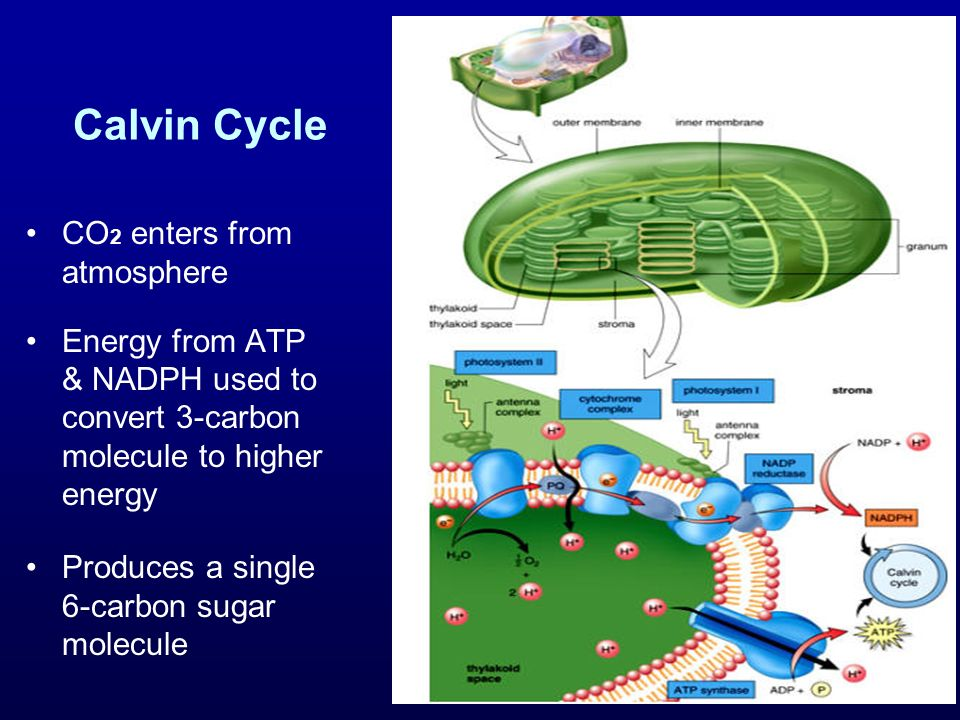 Calvin Cycle CO 2 enters from atmosphere Energy from ATP & NADPH used to convert 3-carbon molecule to higher energy Produces a single 6-carbon sugar m