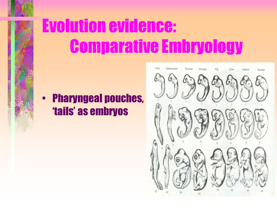 Evolution evidence: Comparative Embryology Pharyngeal pouches, tails as embryos