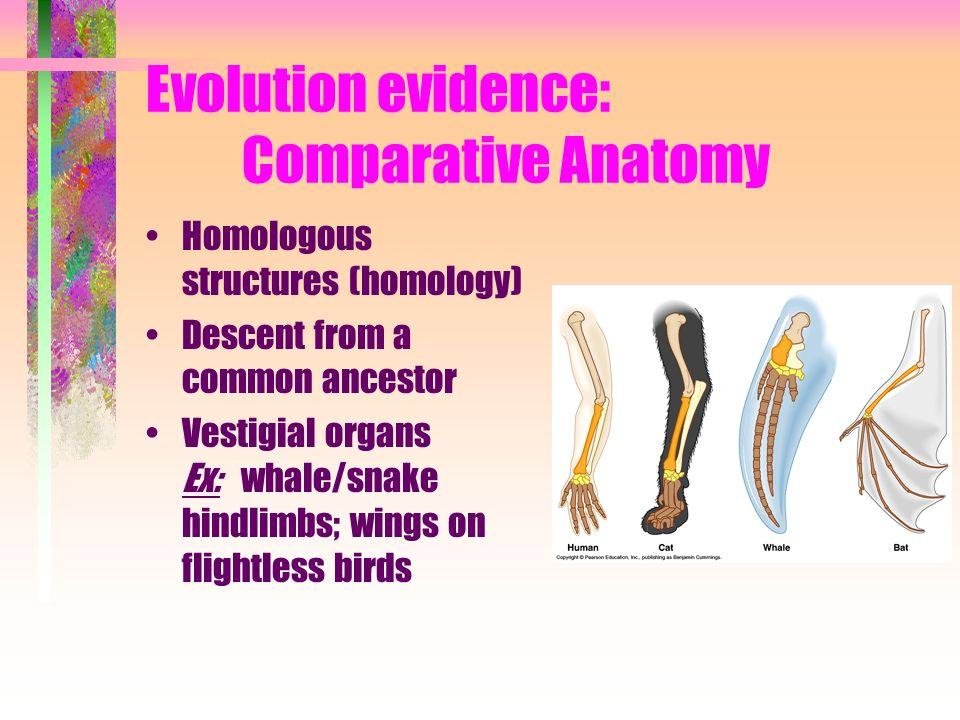 Evolution evidence: Comparative Anatomy Homologous structures (homology) Descent from a common ancestor Vestigial organs Ex: whale/snake hindlimbs; wi