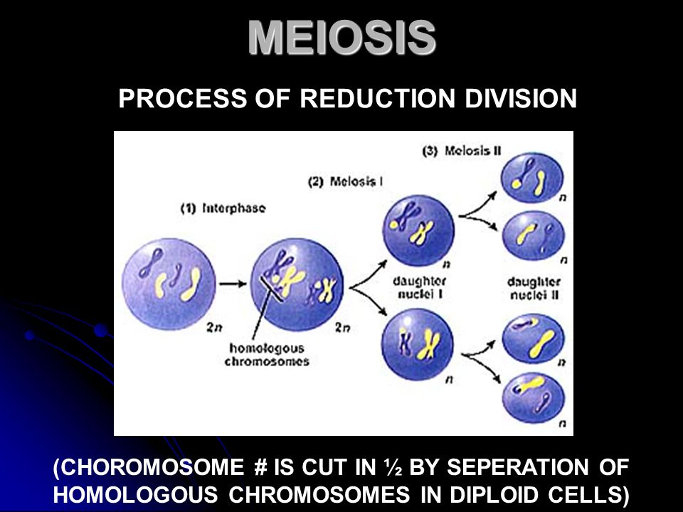 MEIOSIS MEIOSIS PROCESS OF REDUCTION DIVISION (CHOROMOSOME # IS CUT IN ½ BY SEPERATION OF HOMOLOGOUS CHROMOSOMES IN DIPLOID CELLS)