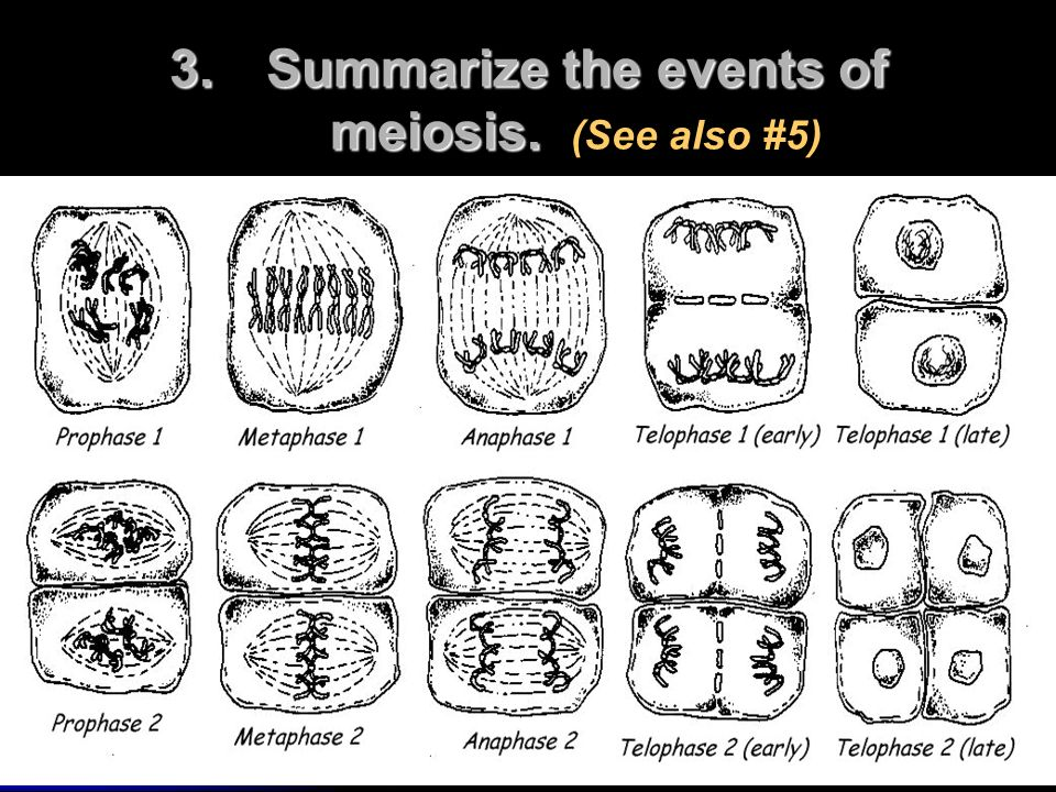 3.Summarize the events of meiosis. 3.Summarize the events of meiosis. (See also #5)