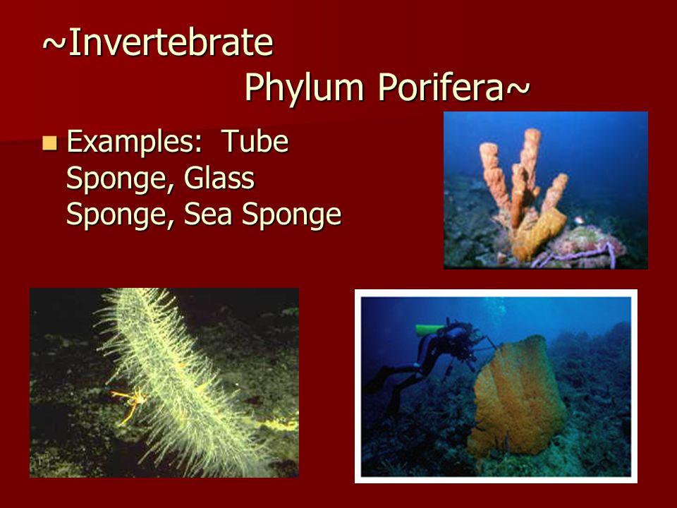 ~Invertebrate Phylum Porifera~ Examples: Tube Sponge, Glass Sponge, Sea Sponge Examples: Tube Sponge, Glass Sponge, Sea Sponge