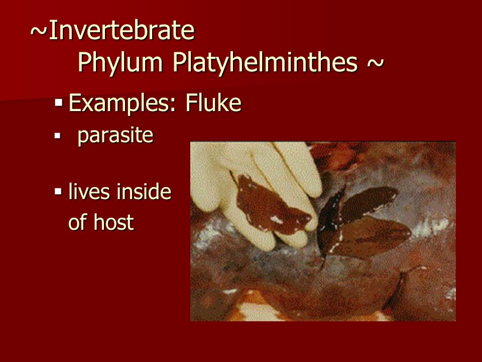 ~Invertebrate Phylum Platyhelminthes ~ Examples: Fluke Examples: Fluke parasite parasite lives inside lives inside of host