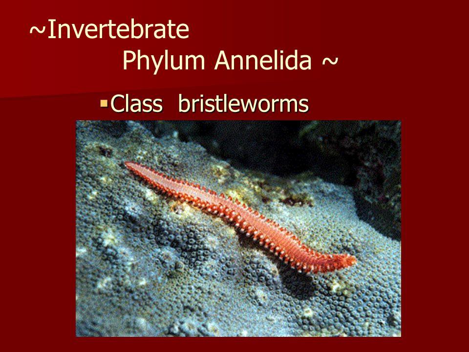 ~Invertebrate Phylum Annelida ~ Class bristleworms Class bristleworms