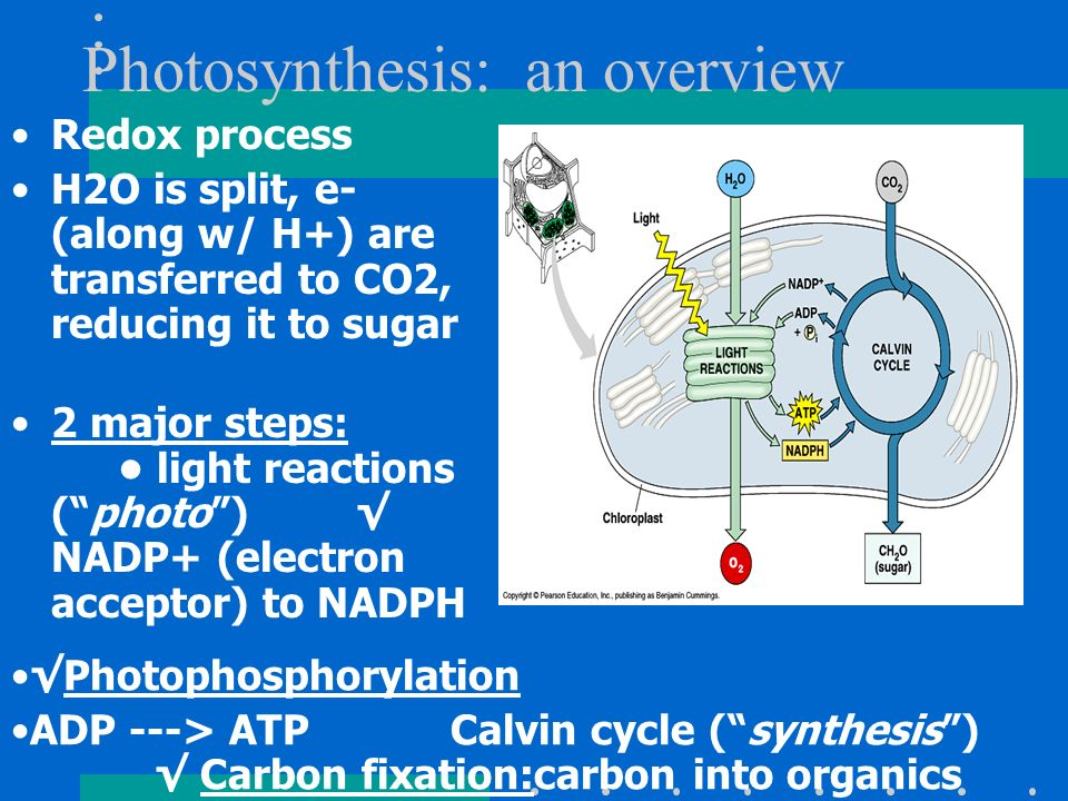 Photosynthesis: an overview Redox process H2O is split, e- (along w/ H+) are transferred to CO2, reducing it to sugar 2 major steps: light reactions (