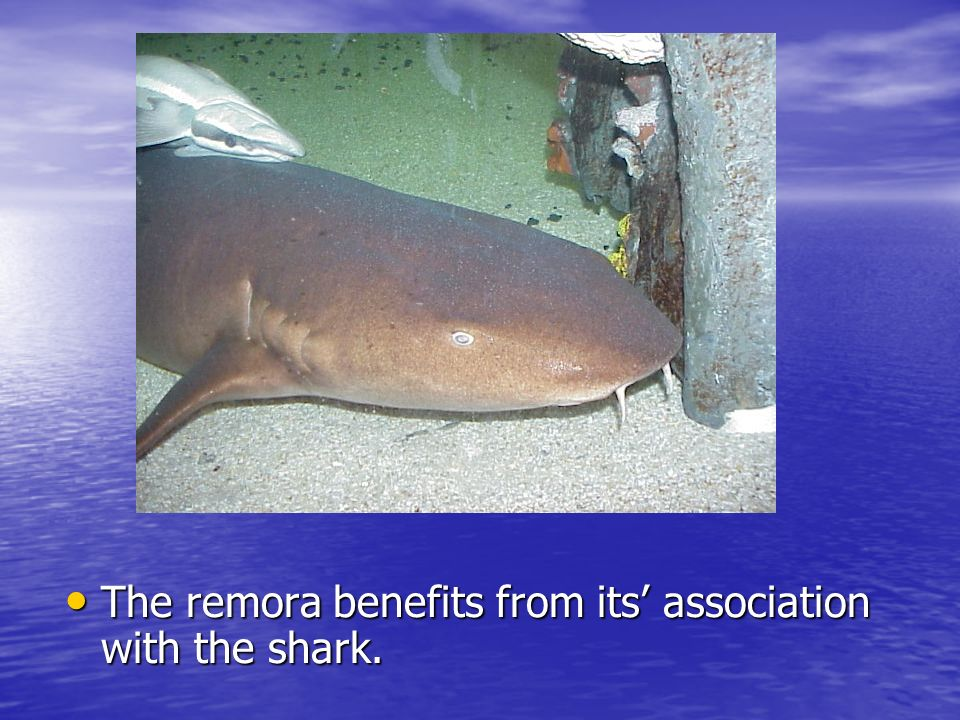 The remora benefits from its association with the shark.