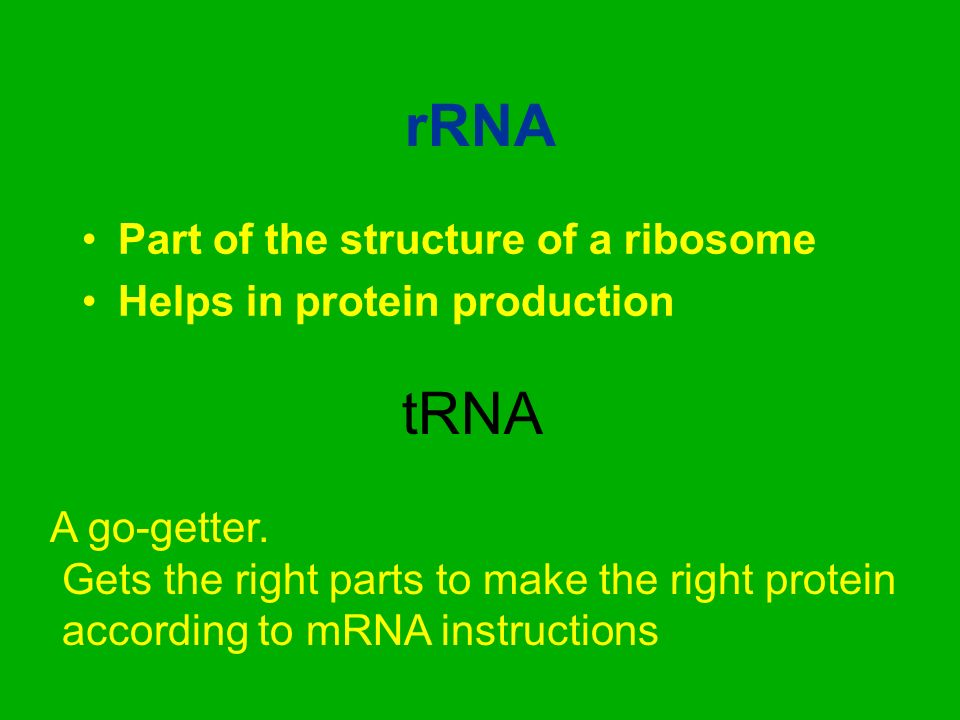 rRNA Part of the structure of a ribosome Helps in protein production tRNA A go-getter. Gets the right parts to make the right protein according to mRN