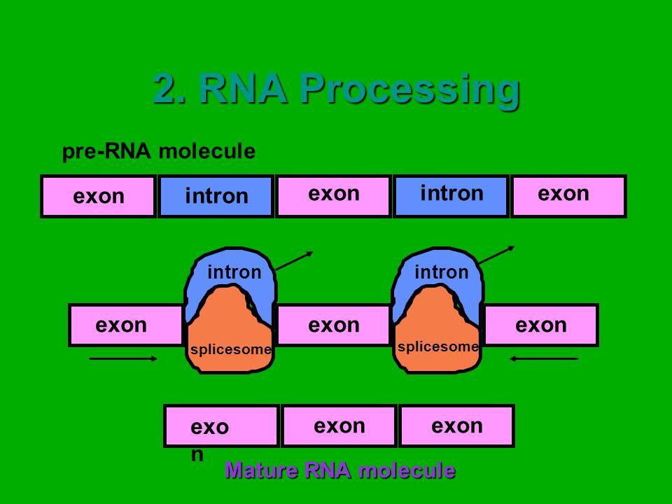 2. RNA Processing pre-RNA molecule intron exon Mature RNA molecule exon intron splicesome