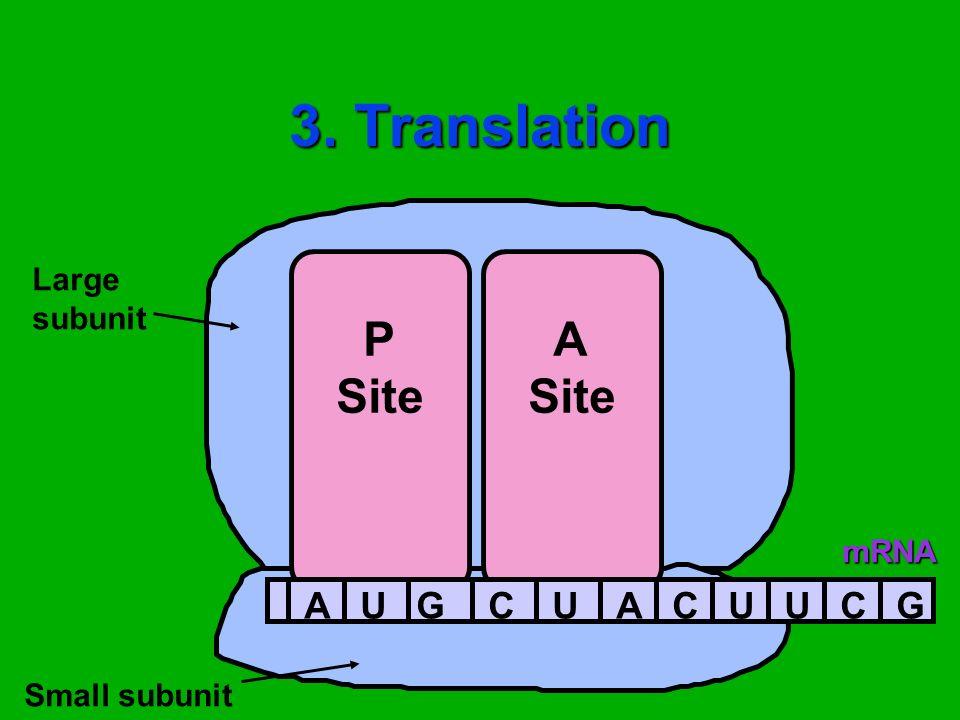 3. Translation P Site A Site Large subunit Small subunitmRNA AUGCUACUUCG
