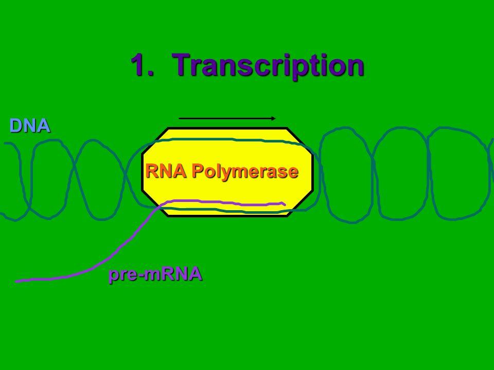 1. Transcription DNApre-mRNA RNA Polymerase