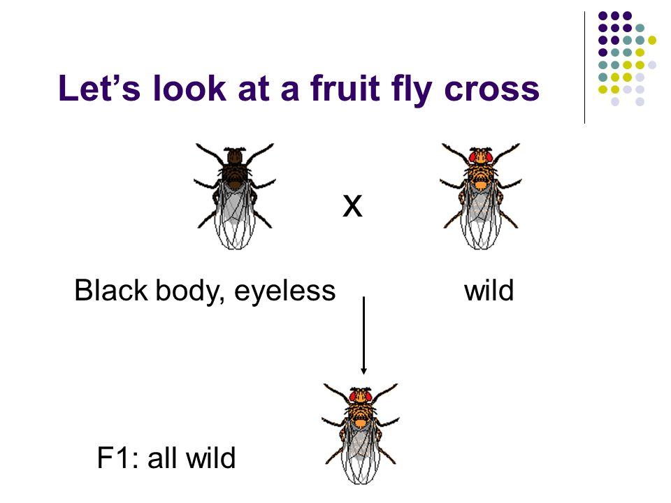 Lets look at a fruit fly cross x Black body, eyelesswild F1: all wild