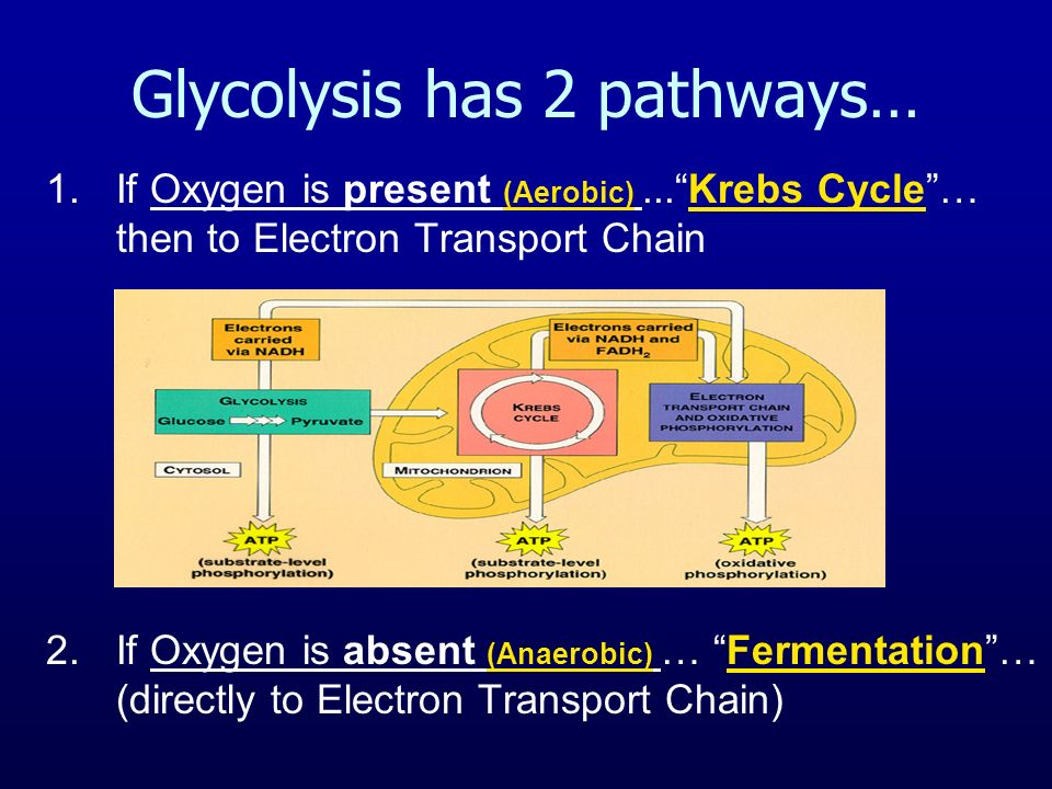 Glycolysis has 2 pathways… 1.If Oxygen is present (Aerobic)...Krebs Cycle… then to Electron Transport Chain 2.If Oxygen is absent (Anaerobic) … Fermentation… (directly to Electron Transport Chain)