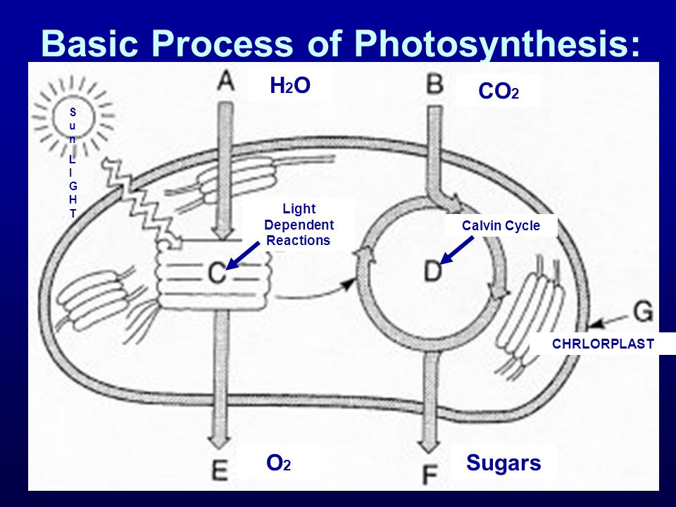 H2OH2O CO 2 Light Dependent Reactions Calvin Cycle O2O2 Sugars CHRLORPLAST SunLIGHTSunLIGHT