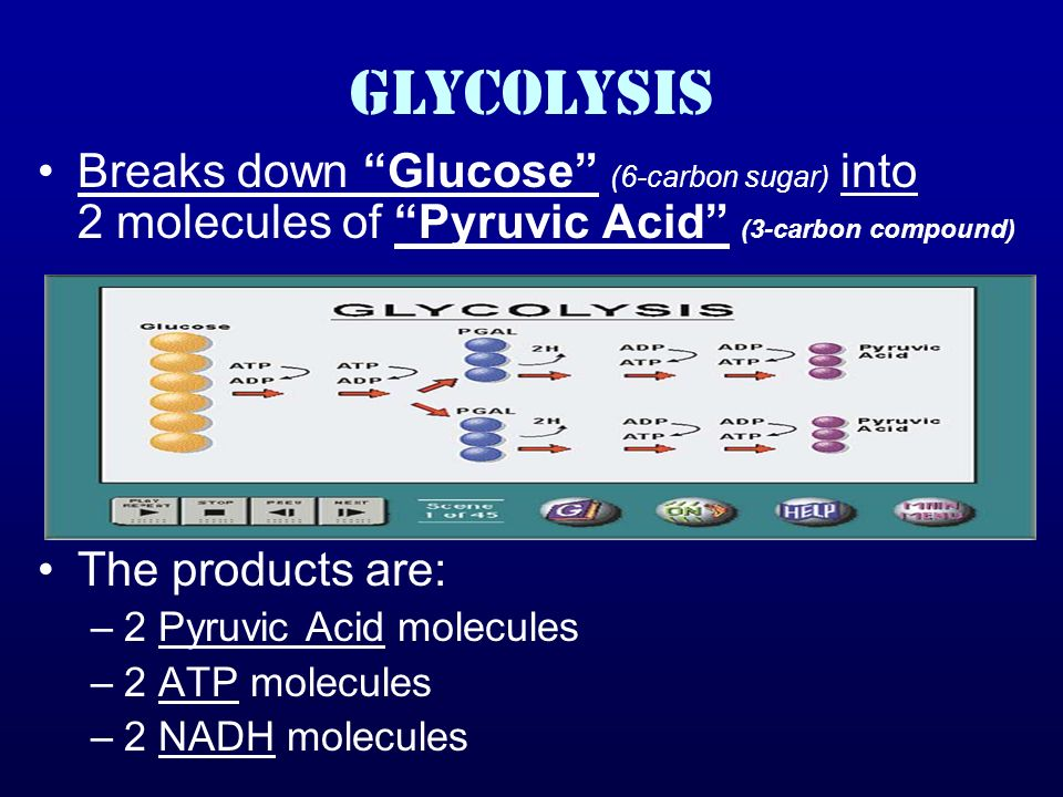GLYCOLYSIS Breaks down Glucose (6-carbon sugar) into 2 molecules of Pyruvic Acid (3-carbon compound) The products are: –2 Pyruvic Acid molecules –2 ATP molecules –2 NADH molecules