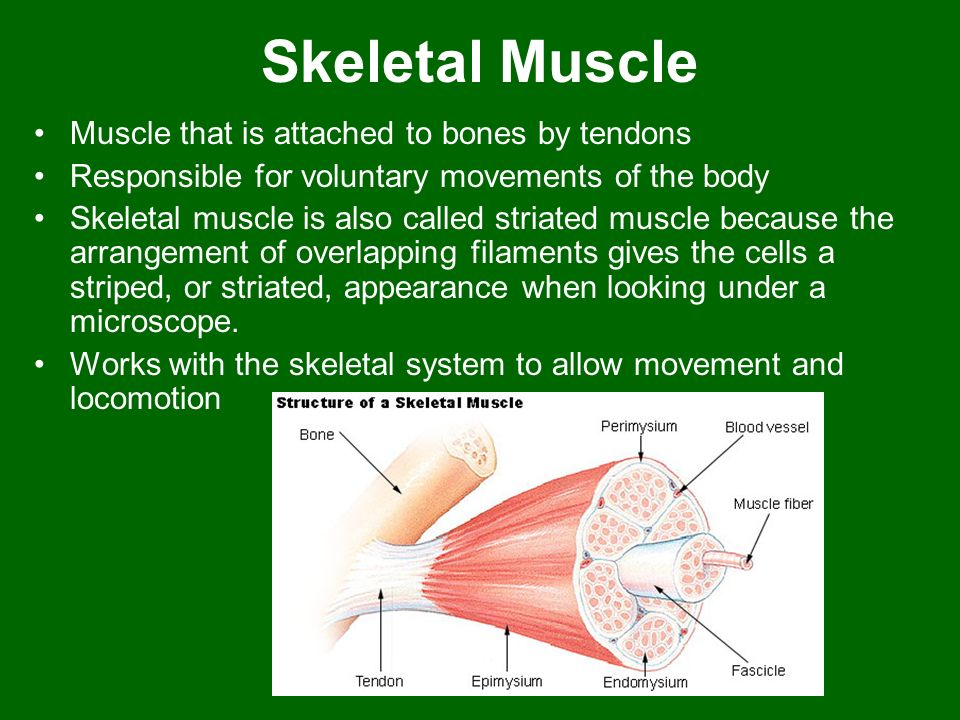 Skeletal Muscle Muscle that is attached to bones by tendons Responsible for voluntary movements of the body Skeletal muscle is also called striated mu