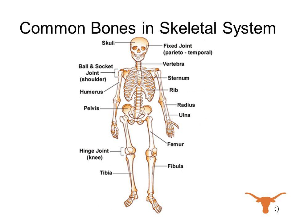 Common Bones in Skeletal System :)