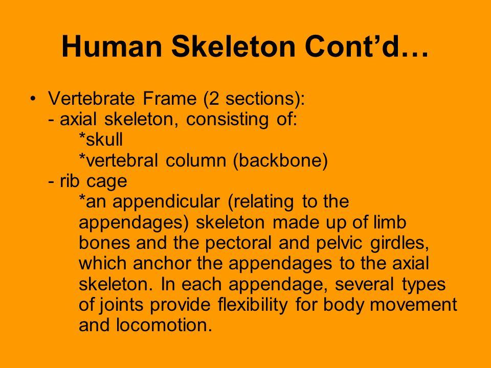 Human Skeleton Contd… Vertebrate Frame (2 sections): - axial skeleton, consisting of: *skull *vertebral column (backbone) - rib cage *an appendicular