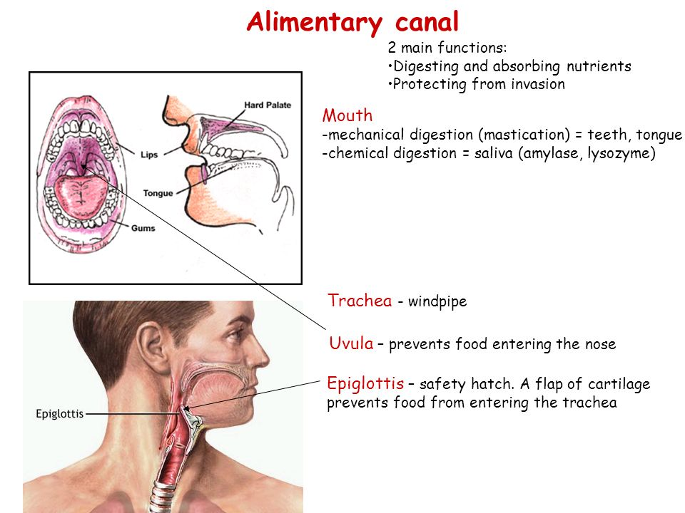 Mouth -mechanical digestion (mastication) = teeth, tongue -chemical digestion = saliva (amylase, lysozyme) Trachea - windpipe Uvula – prevents food entering the nose Epiglottis – safety hatch.
