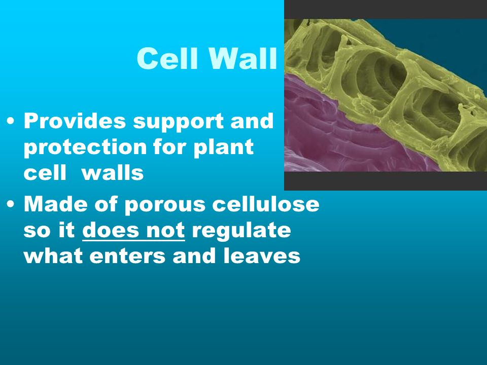 Cell Wall Provides support and protection for plant cell walls Made of porous cellulose so it does not regulate what enters and leaves