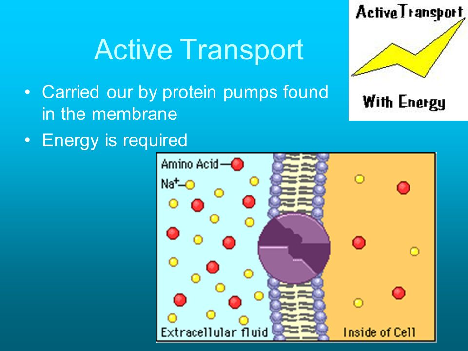 Active Transport Carried our by protein pumps found in the membrane Energy is required