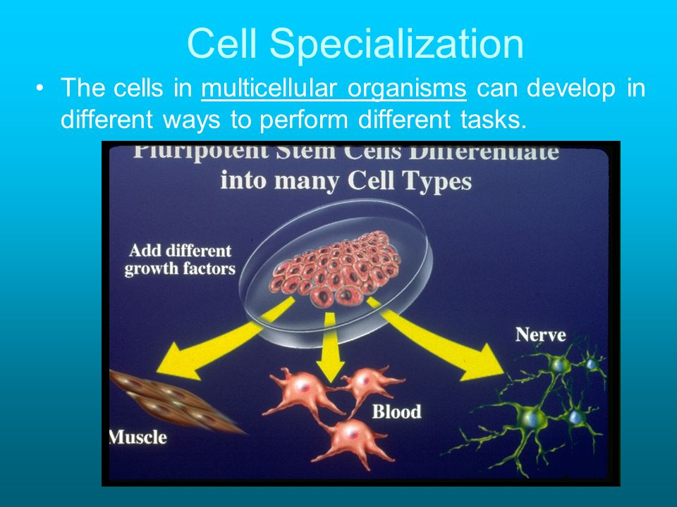 Cell Specialization The cells in multicellular organisms can develop in different ways to perform different tasks.