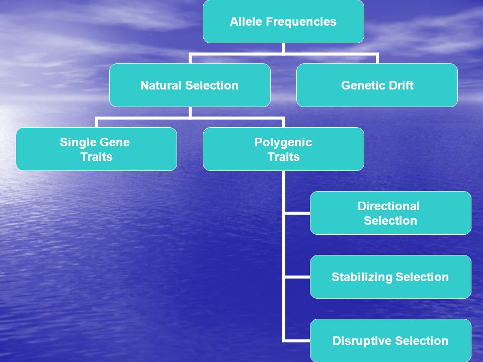 Allele Frequencies Natural Selection Single Gene Traits Polygenic Traits Directional Selection Stabilizing Selection Disruptive Selection Genetic Drif