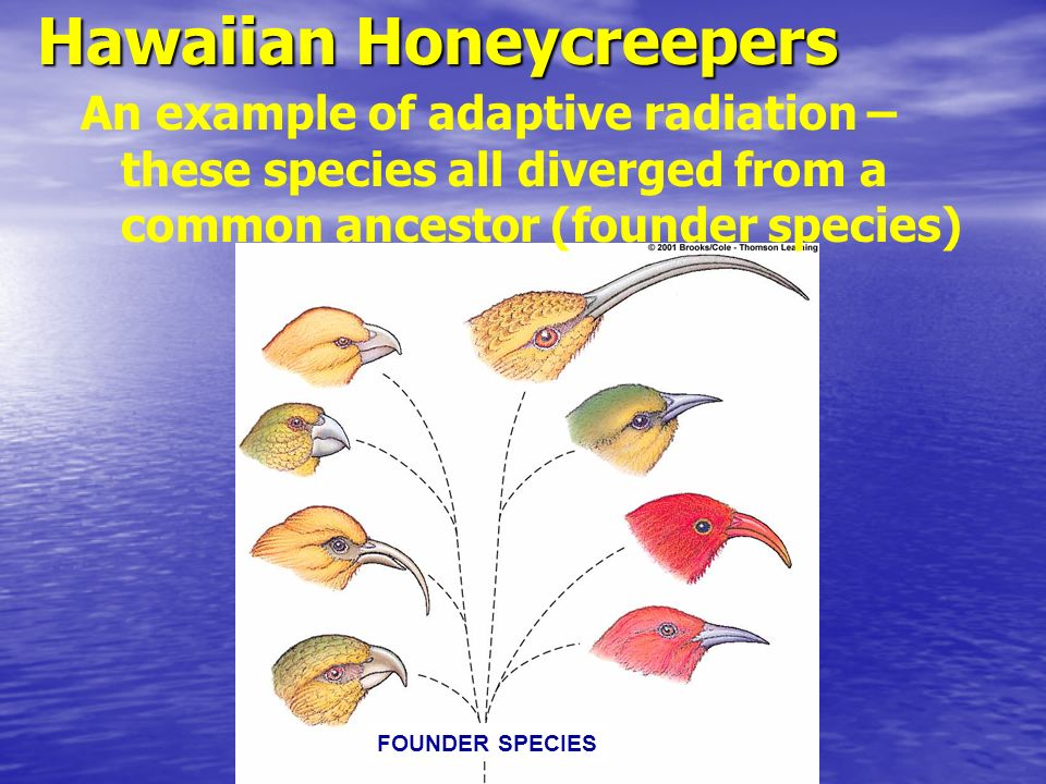 Hawaiian Honeycreepers FOUNDER SPECIES An example of adaptive radiation – these species all diverged from a common ancestor (founder species)