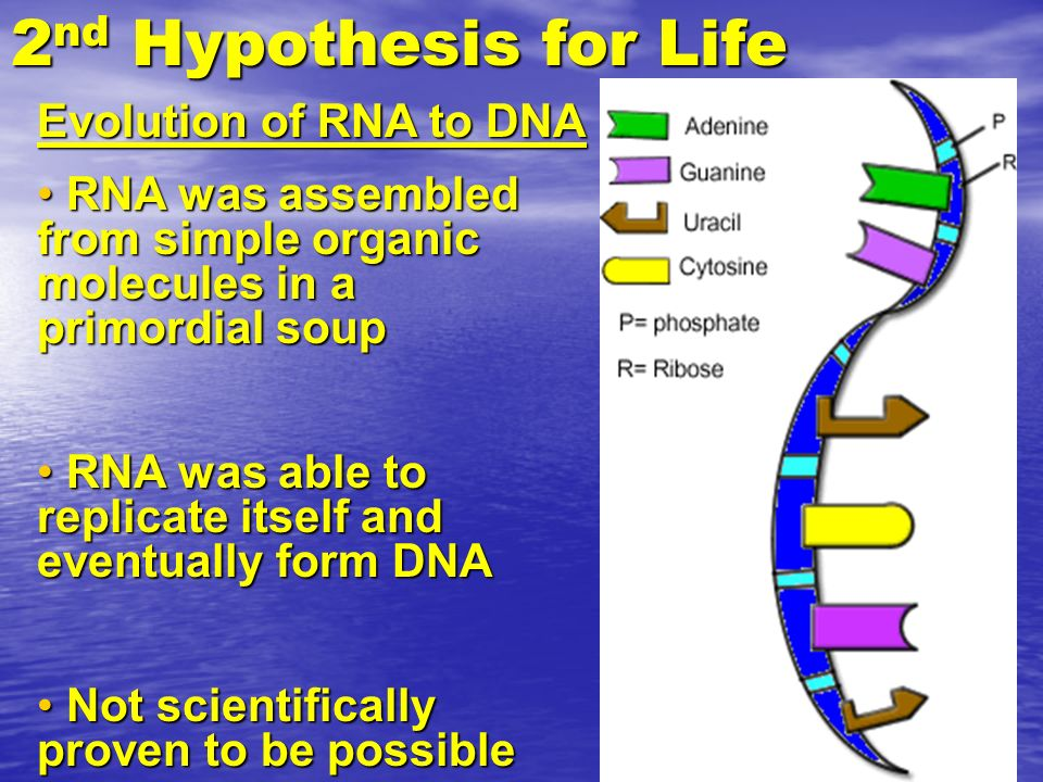 2 nd Hypothesis for Life Evolution of RNA to DNA RNA was assembled from simple organic molecules in a primordial soup RNA was assembled from simple or