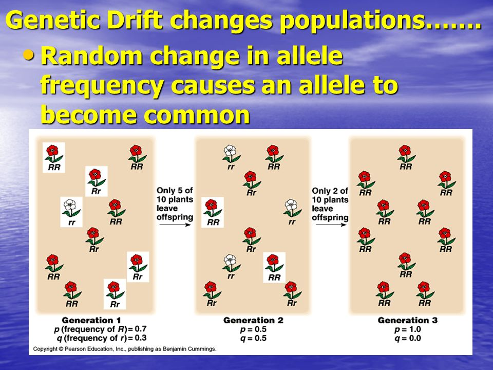 Genetic Drift changes populations……. Random change in allele frequency causes an allele to become common Random change in allele frequency causes an a