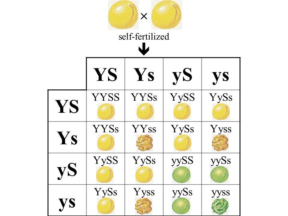 YSYsySys YS YYSSYYSsYySSYySs Ys YYSsYYssYySsYyss yS YySSYySsyySSyySs ys YySsYyssyySsyyss self-fertilized