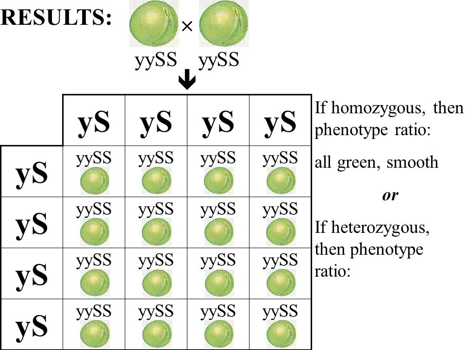 yS yySS yS yySS yS yySS yS yySS If homozygous, then phenotype ratio: all green, smooth or If heterozygous, then phenotype ratio: RESULTS: yySS