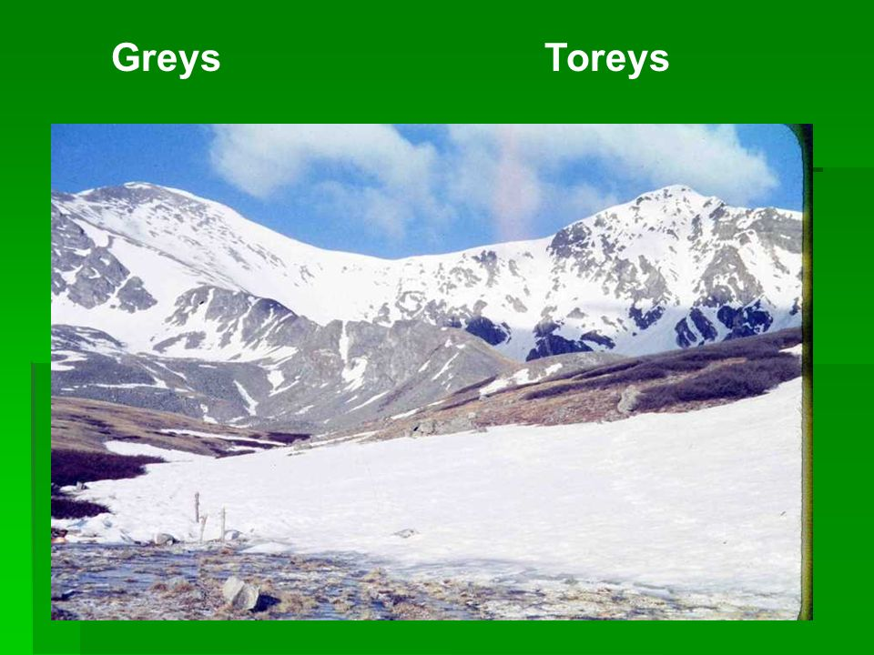 Greys Toreys