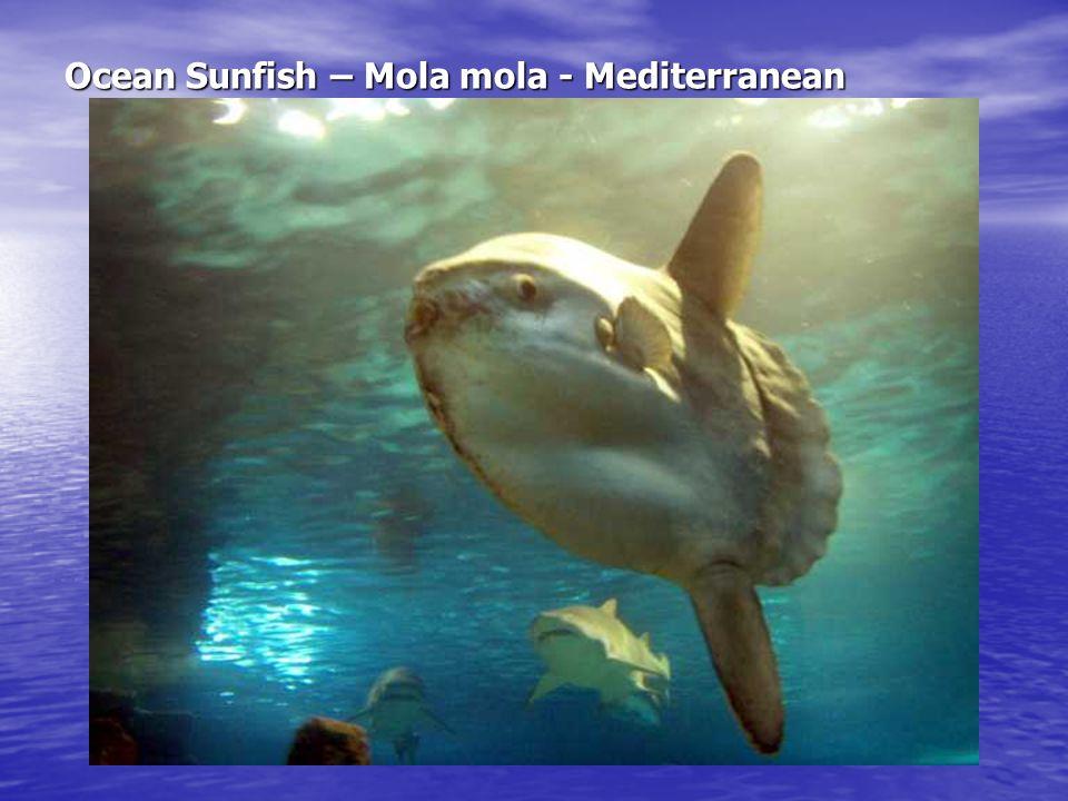 Ocean Sunfish – Mola mola - Mediterranean