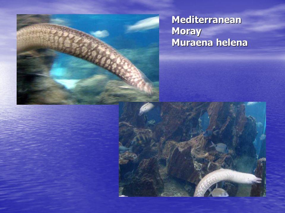Mediterranean Moray Muraena helena