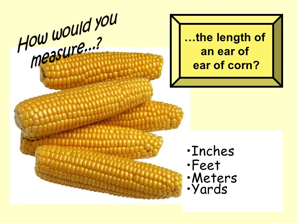 …the length of an ear of ear of corn? Inches Feet Meters Yards