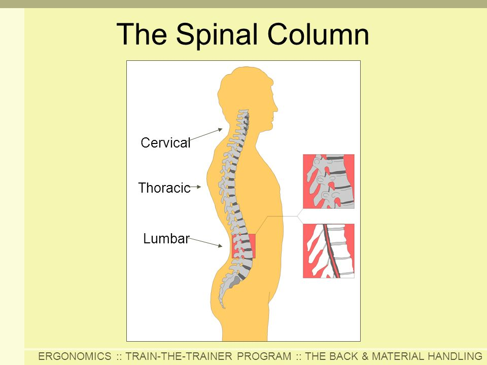 ERGONOMICS :: TRAIN-THE-TRAINER PROGRAM :: THE BACK & MATERIAL HANDLING Cervical Thoracic Lumbar The Spinal Column