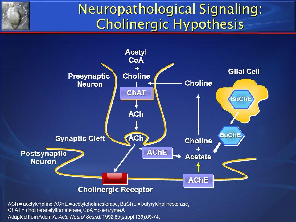 AChEAChE Acetyl CoA + Choline Choline + Acetate ACh PresynapticNeuron Synaptic Cleft Postsynaptic Neuron Cholinergic Receptor Choline AChEAChE ChATChA