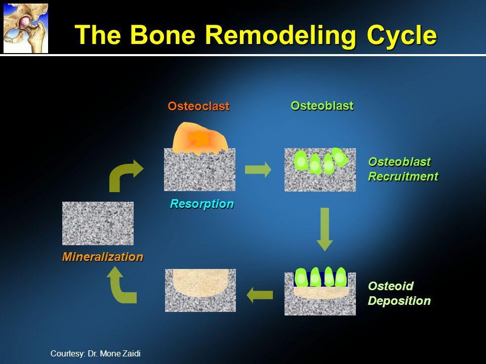 OsteoclastResorptionOsteoblastOsteoblastRecruitmentOsteoidDeposition Mineralization Courtesy: Dr. Mone Zaidi The Bone Remodeling Cycle