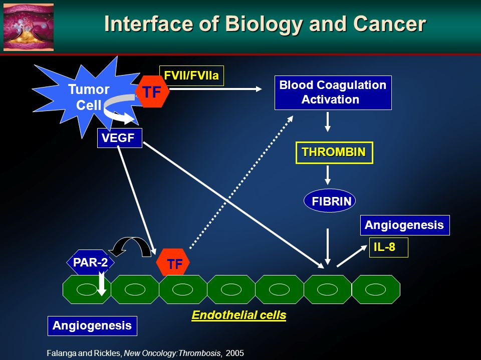 TF VEGF Angiogenesis Endothelial cells IL-8 Blood Coagulation Activation FIBRIN PAR-2 Angiogenesis FVII/FVIIa THROMBIN Tumor Cell TF Falanga and Rickles, New Oncology:Thrombosis, 2005 Interface of Biology and Cancer